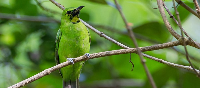 Ilustrasi: Greater Green Leafbird (credit: oiseaux.net)