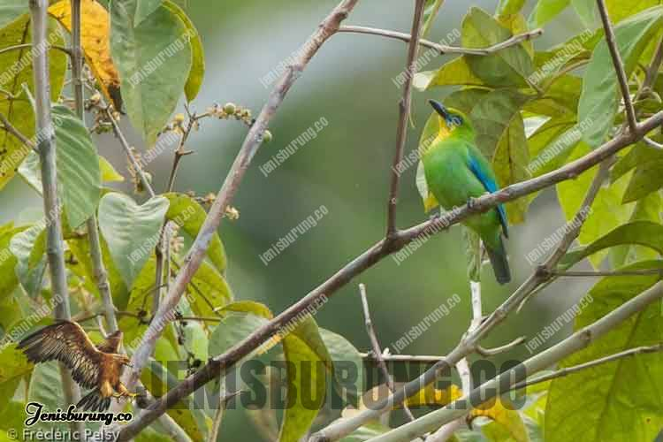 Chloropsis palawanensis (Yellow-throated Leafbird) Burung Cica Daun Palawan