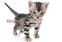 Harga Kucing Munchkin Anakan Jantan & Betina Mulai 900rban!